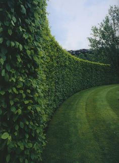 A simple Hornbeam hedge in the Wirtz private garden