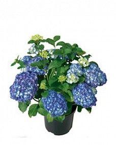 Met een 4-seizoenen hortensia ook in de herfst plezier van deze tuinplant!