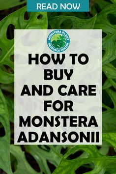 Are you looking to add to your monstera plant collection? Learn more about the monstera adansonii. Learn the best places to buy one and the best care tips for monstera adansonii plants. Fiddle Leaf Fig Tree, House Plant Care, Spider Plants, Houseplants, Indoor Plants, The Good Place, How To Find Out, Thats Not My, Learning