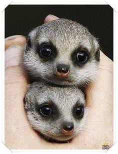 Baby meerkats Zanzibar and Nairobi were born in Sydney, Australia's at Taronga Zoo. So cute I'm gonna pop! Safari Animals, Cute Baby Animals, Animals And Pets, Wild Animals, Baby Meerkat, Animal Facts, Cute Photos, Animals Beautiful, Beautiful Babies