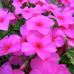 #Flower #Flowers #Plant #Plants #Pretty #Beauty #Beautiful #Outside #Nature #MotherNature #Green #Pink