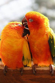 Orange parrots ✿⊱╮