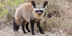 Are you a Bat-eared Fox or a Fat eared Box? Bat Eared Fox, Doodle Inspiration, Animal Photography, Kangaroo, Foxes, Pets, Mother Nature, Classic, Future