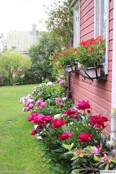 puutarha,pionit,piha