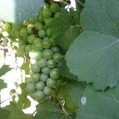 #grapes 100% #organic, 100% #Vivera #family  #Etna and #Sicily #organic #wine #Italy  Mail ✉ info@vivera.it  +Vivera Etna Winery