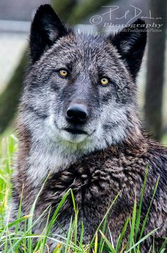 Gorgeous wolf  ~  Paul Danaher