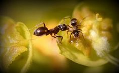 LEMON JUICE SOLUTION KILLS ANTS  NATURALLY!!! (1/2 LEMON JUICE, and 1/2 WATER IN A SPRAY BOTTLE)  Works Fantastic and is Safe!!