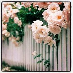 Picket fences drippin' with heirloom rosees.  Instagram photo by @AbdulAziz Bukhamseen Is Our South