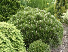 Pinus leucodermis (heldreichii) 'Smidtii'