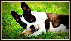 Boston Terrier  ~ Kellie Gold Photography