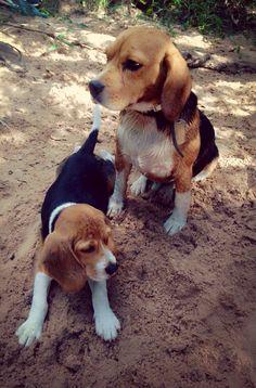 Beagle Love.. Taco & Uma
