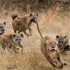 Hienas vs leona