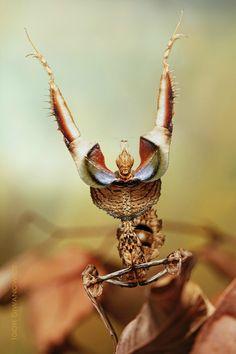 Idolomantis diabolica (Devil's Flower Mantis) - performing a threat display