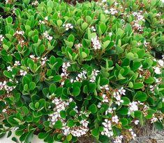 Rhaphiolepis umbellata (Indian Hawthorn) hedging plant throughout garden Hedging Plants, Garden Shrubs, Garden Beds, Garden Plants, House Plants, Fire Pit Landscaping, Garden Landscaping, Landscaping Ideas, Shade Tolerant Plants