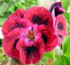 "Zia Grazia - Regal Pelargonium - acquired for my garden in 2001.  Found on website ""Pelargonium Pictures: http://www.augustsson.net/regalriket/pelphotos.html"