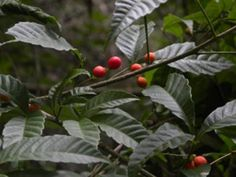 VACUM DE DEZEMBRO (Allophylus semidentatus)  Frutifica de dezembro a janeiro. Os frutos são consumidos in-natura, na forma de sucos ou bebida fermentada assim como o Chal-chal. Os frutos dessa espécie atrai muitas espécies de pássaros.