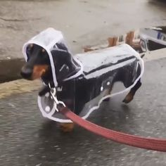 The Transparent Dog Raincoat is very durable, but still comfortable to wear. Our Transparent Dog Raincoats are absolutely ADORABLE! Funny Dachshund, Dachshund Puppies, Weenie Dogs, Dachshund Love, Funny Dogs, Cute Dogs, Dogs And Puppies, Dapple Dachshund, Long Haired Dachshund