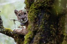 June 21 2017 at 02:00AM Mountain lions fear humans fleeing when they hear our voices new study reveals https://phys.org/news/2017-06-mountain-lions-humans-voices-reveals.html  [PhysOrg]