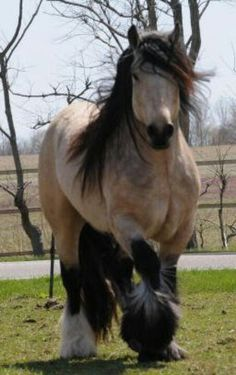 Gorgeous Buckskin Gypsy Vanner Stallion