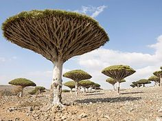 One of the planet's most isolated landforms of continental origin, the Socotra Archipelago, in the Indian Ocean off the Horn of Africa, has a unique and spectacular endemic flora
