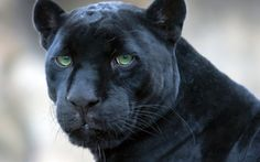 black-panther - Cats & Animals Background Wallpapers on Desktop ...