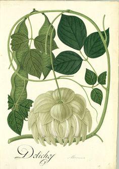 https://flic.kr/p/sFFizw | Mucuna mollis | Anónimo Mucuna mollis (Kunth) DC. (Leguminosae/Faboideae) Dibujo a la témpera sobre papel ; 540 x 380 mm Real Expedición Botánica del Nuevo Reino de Granada (1783-1816)  Archivo del Real Jardín Botánico, CSIC. Div. III, 2736  Publicada en: MUTIS, J.C. Flora de la Real Expedición Botánica del Nuevo Reino de Granada (1783-1816) [...]. Madrid : Ediciones Cultura Hispánica, 2008, Tomo XX (I), 51 Det.: Henry Yesid Bernal M. y Luís Carlos Jiménez B.