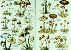 a pictorial survey of some psilocybin-containing magic mushrooms.