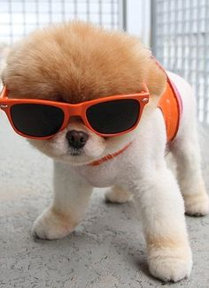 #Pomeranian puppy with sunglasses. Too #cute!