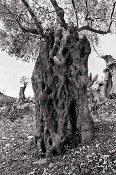 """Alte Olivenbäume sehen aus wie die Überlebenden einer mörderischen, apokalyptischen Baumschlacht. Bildlich gesprochen handelt es sich um die """"Orks"""" unter den Bäumen. Ausgehöhlt, gespalten, gitterförmig durchbrochen, verdreht, knorrig und von Bränden gezeichnet, jeder Baum ist ein einzigartiges, unverkennbares Individuum. (Alter Olivenbaum Olivenhain Mallorca Schwarz-Weiß oliv tree ancient hollow black-and-white photograph)"""