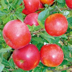 Zwerg-Säulenapfel Pidi(S) - Äpfel & Birnen