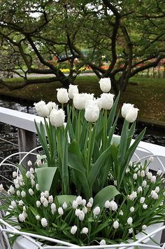 Flowers Tulips White Plants 32 Ideas - Garden Care tips, Garden ideas,Garden design, Organic Garden Tulips Garden, Garden Bulbs, Planting Flowers, Moon Garden, Dream Garden, White Tulips, White Flowers, Tulips Flowers, Yellow Roses