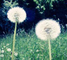 Dandelion, Flora, Art Gallery, Plants, Wallpapers, Art Museum, Fine Art Gallery, Dandelions, Wallpaper