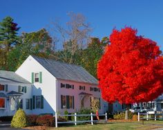 Autumn Blaze Red Maple Trees for Sale | Fast Growing Trees