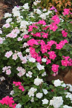 vincas-I plant these every year in my front flower bed...LOVE them no watering no picking the deadheads off.