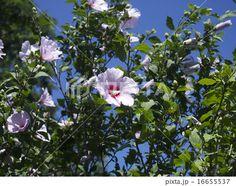 Flower of the rose of sharon | ムクゲ (ハチス) の花、引き