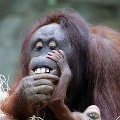 Seven-week-old baby orangutan presented at Rostock Zoo