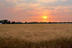 Kansas Wheat Field at Sunset