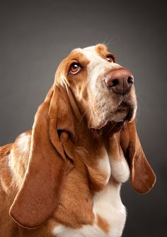 I have a granddoggie Basset like this!  Although I think my Sadie is cuter!!  :-)