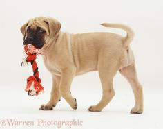 English Mastiff Puppy... One day I will be owned by one (or two) of these babies.
