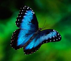 The most famous butterfly in Costa Rica is the Blue Morpho with its bright neon-blue iridescent wings and a wingspan of up to 15 cm.