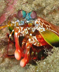 The peacock mantis shrimp's 2/10-inch-wide fist accelerates faster than a .22-caliber bullet, reaching speeds of 45 mph underwater and smacking its prey with 200 pounds of force. (S. Baron / June 9, 2012)