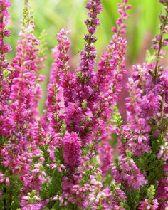Calluna Vulgaris Sorten 75 best sträucher images on pinterest | planting flowers, butterfly