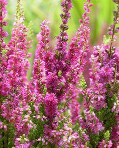 Besenheide • Calluna vulgaris • Heidekraut • Pflanzen & Blumen • 99Roots.com