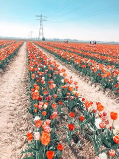 A Non-Touristy Guide To The Tulip Fields In The Netherlands - Travel Spring Aesthetic, Orange Aesthetic, Flower Aesthetic, Aesthetic Collage, Travel Aesthetic, Aesthetic Backgrounds, Aesthetic Iphone Wallpaper, Aesthetic Wallpapers, Photo Wall Collage