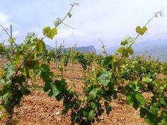 Los viñedos están situados en las fincas La Nevera y Valdecabos, en Nalda (La Rioja).