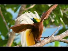 Videos: Rare Glimpses of Amazing Birds-of-Paradise Courtship Rituals