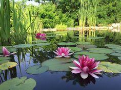 waterlilies waterplant project natural pool suingiardino - ninfee piante acquatiche progetto biopiscina suingiardino