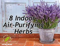 8 Indoor Air Purifying Herbs - The following herbs can suck almost 90% of VOCs out of your room and leave you with pure, filtered air:      Rosemary     Lavender     Basil     Mint     Jasmine     Geranium     Coffee plant     Woodbine