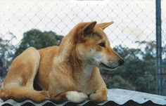 Dingo Lady: The Taming of the Shrew
