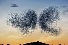 """conflictingheart: """" The balletic murmurations of wild birds by Alain Delorme """""""